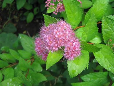 spiraea-bumalda-anthony-waterer-03.jpg