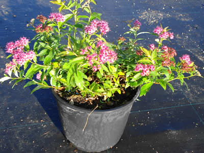 spiraea-bumalda-anthony-waterer-04.jpg