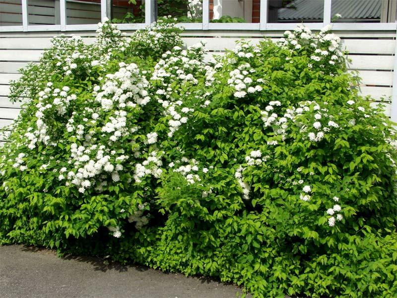 spiraea-chamaedryfolia-01.jpg