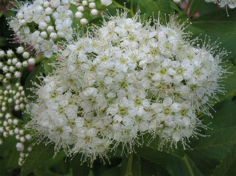 spiraea-chamaedryfolia-05.jpg