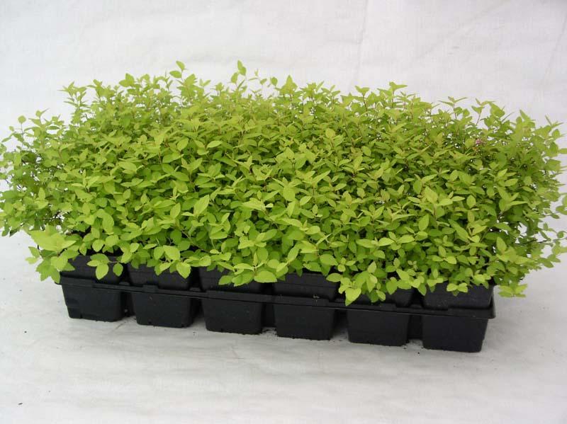 spiraea-chamaedryfolia-06.jpg