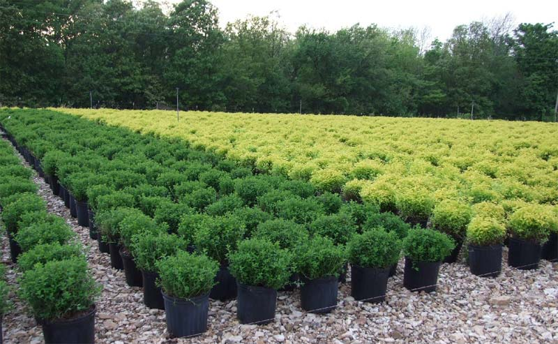 spiraea-chamaedryfolia-07.jpg