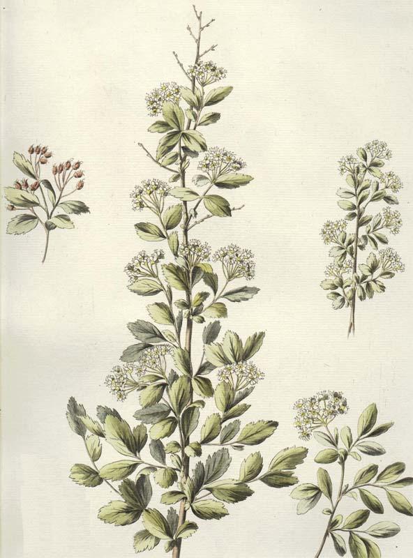 spiraea-chamaedryfolia-08.jpg