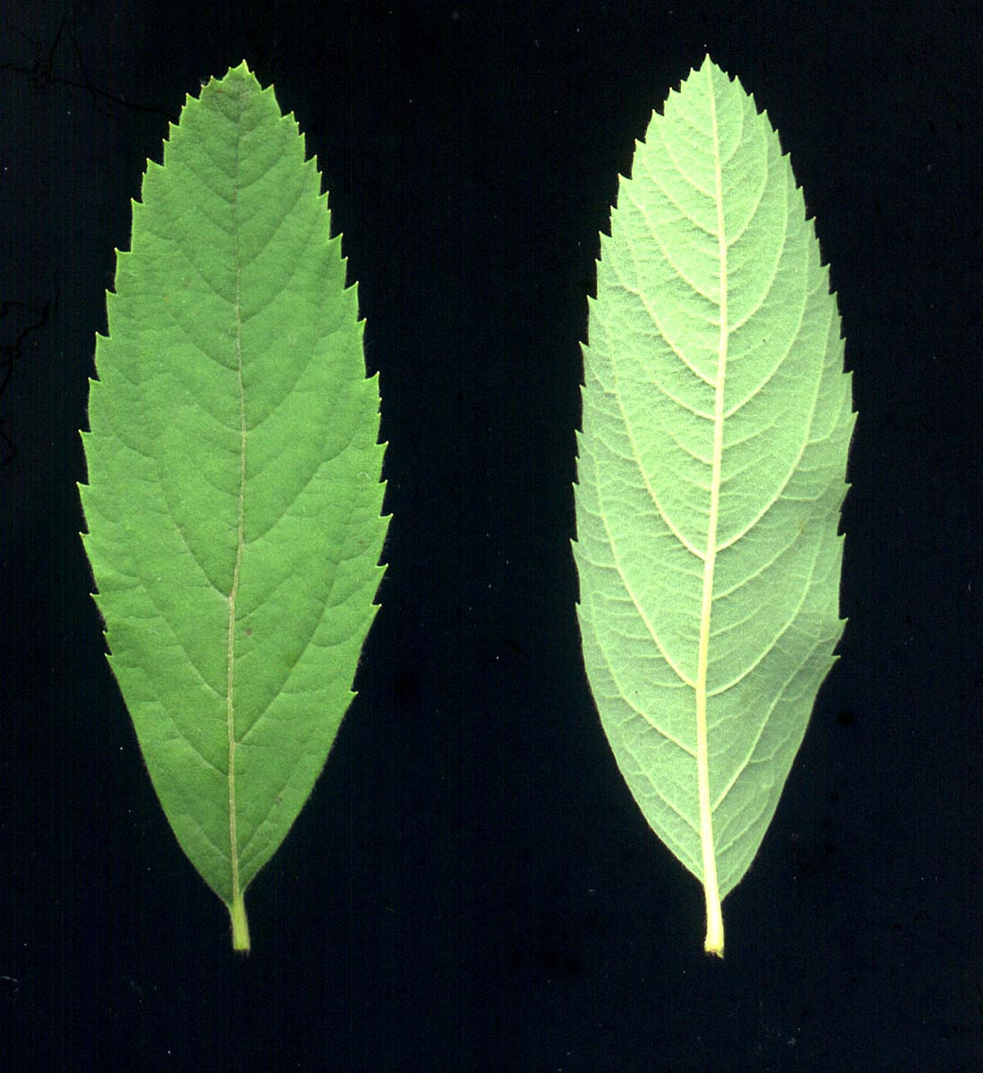 spiraea-syringaeflora-02.jpg