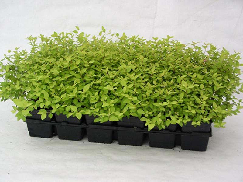 spiraea-syringaeflora-04.jpg