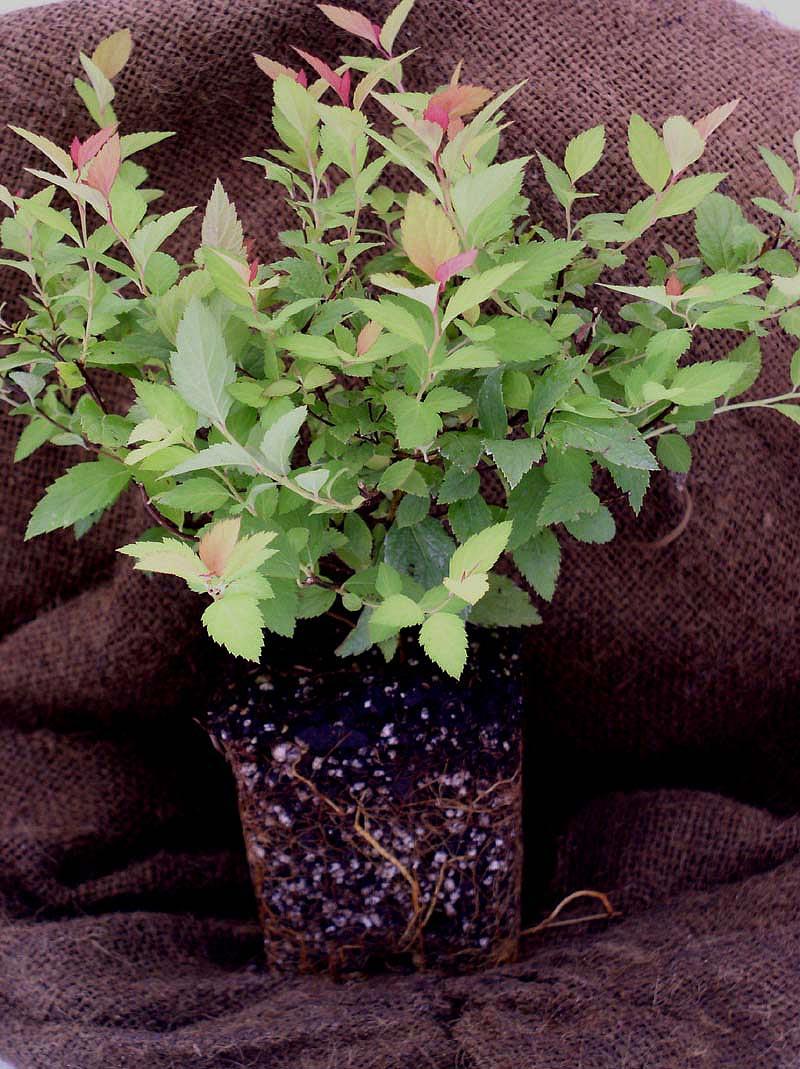 spiraea-syringaeflora-05.jpg