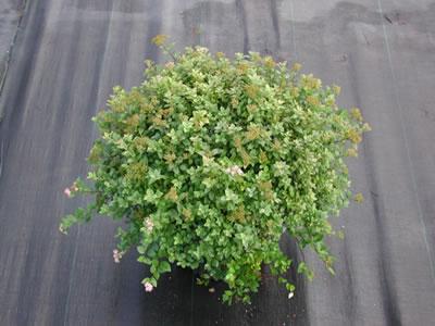 spiraea-syringaeflora-06.jpg
