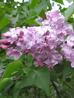 syringa-vulgaris-03.jpg