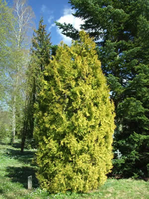 thuja-occidentalis-aureovariegata-01.jpg