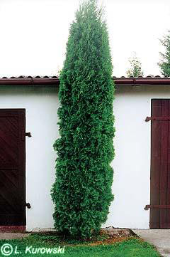 thuja-occidentalis-fastigiata-01.jpg