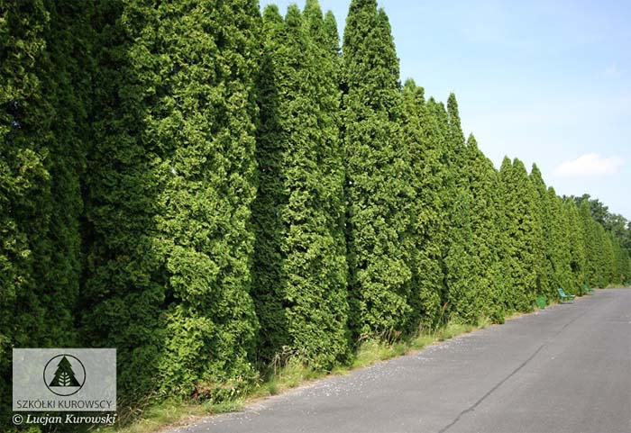 thuja-occidentalis-fastigiata-02.jpg