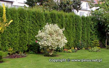 thuja-occidentalis-fastigiata-04.jpg
