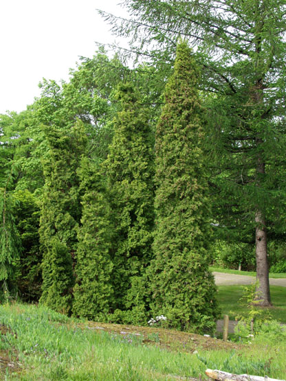 thuja-occidentalis-fastigiata-05.jpg
