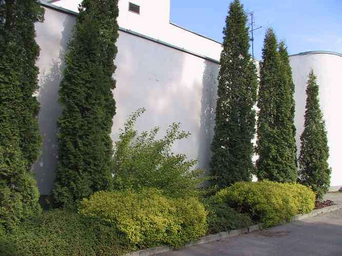 thuja-occidentalis-fastigiata-06.jpg