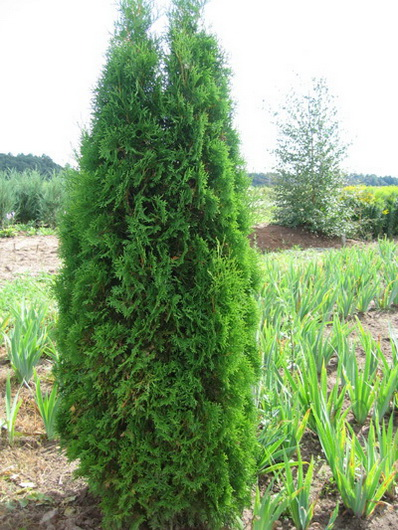 thuja-occidentalis-fastigiata-08.jpg