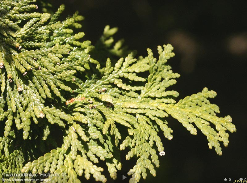 thuja-occidentalis-fastigiata-10.jpg
