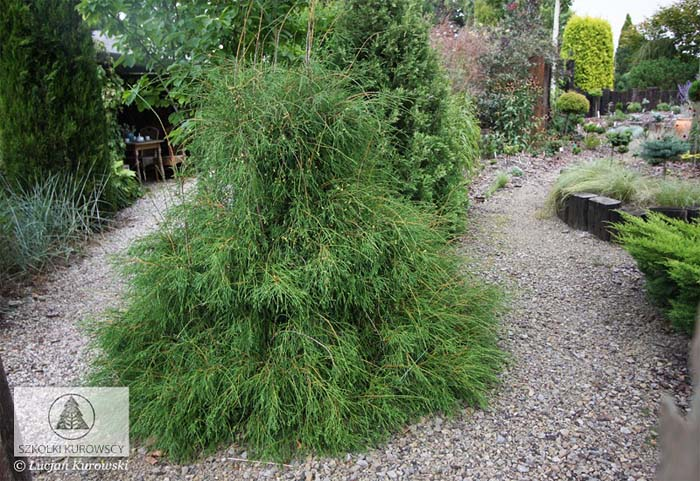 thuja-occidentalis-filiformis-01.jpg