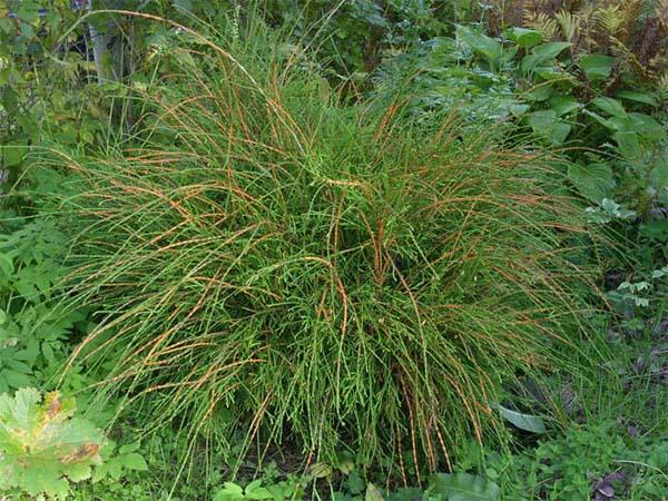 thuja-occidentalis-filiformis-06.jpg