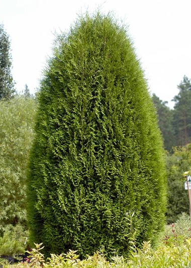 thuja-occidentalis-wagneri-01.jpg