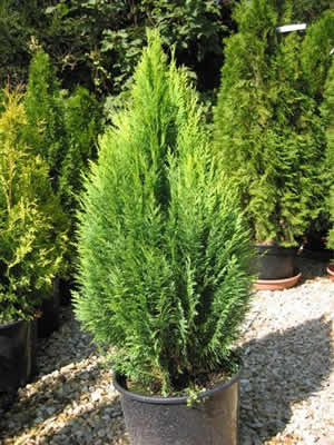 thuja-occidentalis-wagneri-03.jpg