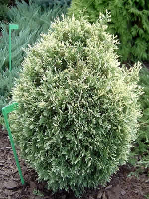 thuja-occidentalis-albospicata-01.jpg