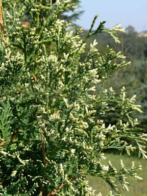 thuja-occidentalis-albospicata-02.jpg