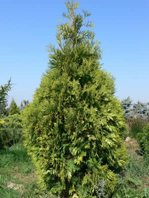 thuja-occidentalis-albospicata-03.jpg