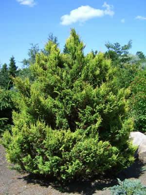 thuja-occidentalis-aureospicata-01.jpg