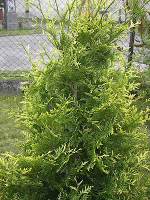 thuja-occidentalis-aureospicata-02.jpg