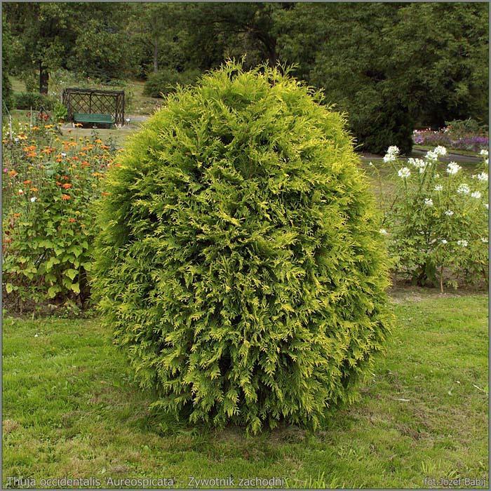 thuja-occidentalis-aureospicata-03.jpg