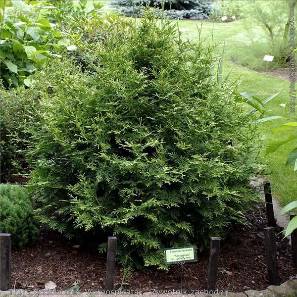 thuja-occidentalis-aureospicata-04.jpg