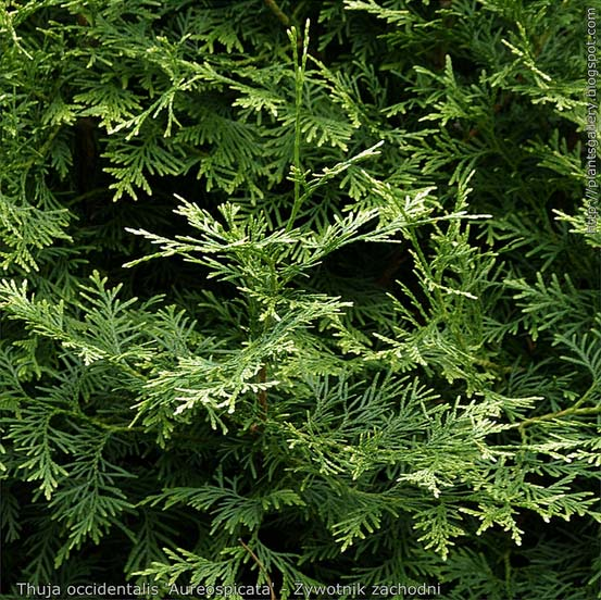 thuja-occidentalis-aureospicata-05.jpg