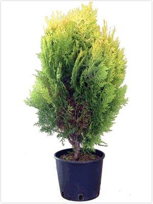 thuja-occidentalis-aureospicata-06.jpg