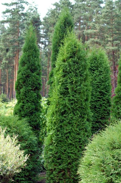 thuja-occidentalis-boothii-01.jpg