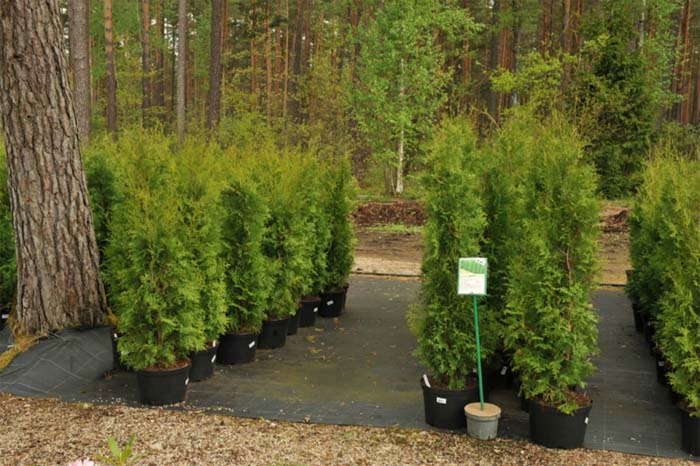 thuja-occidentalis-boothii-04.jpg