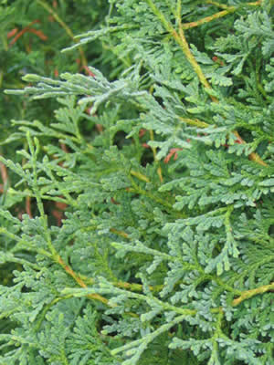 thuja-occidentalis-boothii-05.jpg