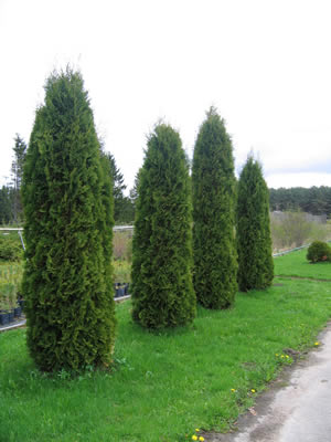 thuja-occidentalis-columna-01.jpg