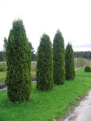 thuja-occidentalis-columna-01.jpg