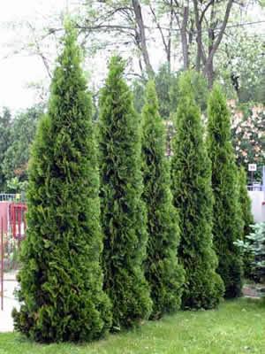 thuja-occidentalis-columna-02.jpg