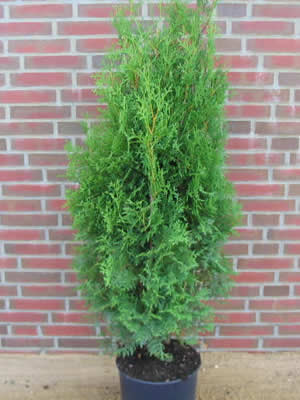 thuja-occidentalis-columna-03.jpg