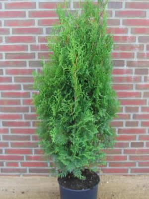 thuja-occidentalis-columna-03.jpg