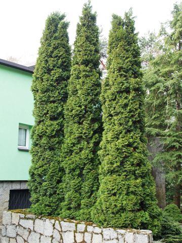 thuja-occidentalis-columna-04.jpg