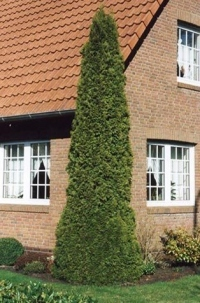 thuja-occidentalis-columna-05.jpg