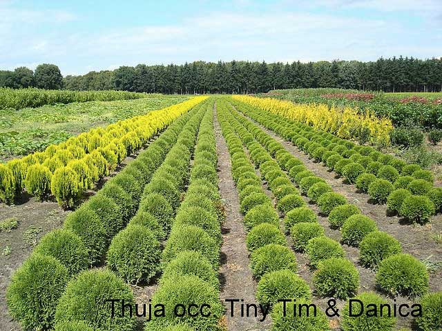 thuja-occidentalis-danica-09.jpg