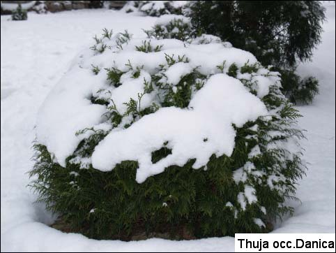 thuja-occidentalis-danica-11.jpg