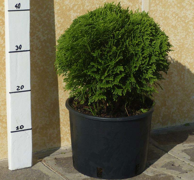 thuja-occidentalis-danica-12.jpg