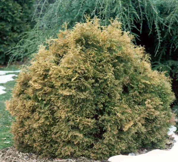 thuja-occidentalis-ericoides-02.jpg