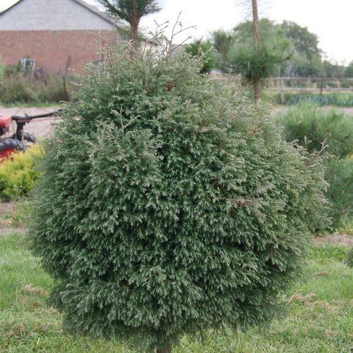 thuja-occidentalis-ericoides-04.jpg