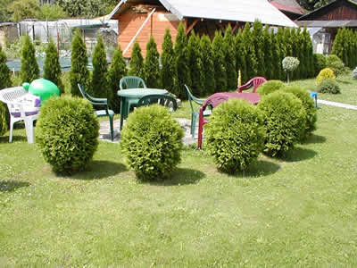 thuja-occidentalis-globosa-03.jpg