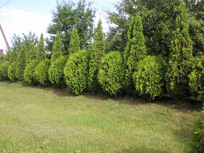 thuja-occidentalis-globosa-04.jpg